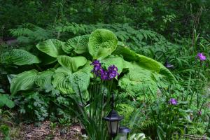 Hosta in Shade Garden