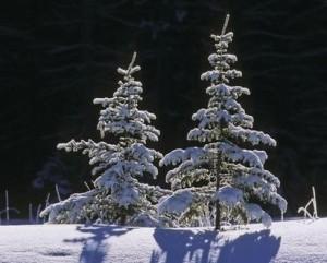 Spruse Trees Under Fresh Snow Canada