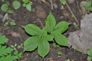 Ginseng - Panax quinquefolium