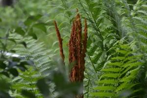 Cinnamon Fern - Osmundastrum cinnamomeum