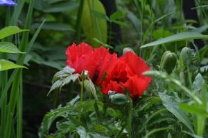 Oriental Poppy - Papaver orientale