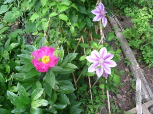 Peony - Paeonia and Clematis