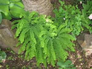 Maiden Hair Fern - Adiantum