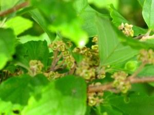 Ozark Witch Hazel - Hamamelis vernalis
