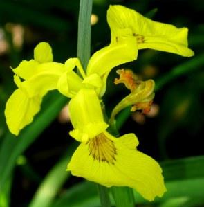 Yellow Siberian Iris -  Iris sibirica